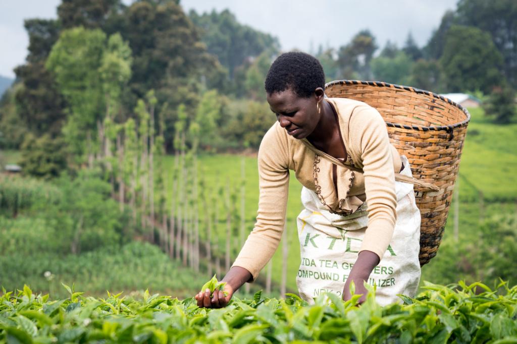 Kenialainen Monicah Muthoni Maina poimii teetä, josta Gacharagen osuuskunta saa myytyä vain pienen osan Reilun kaupan markkinoille. Sekin auttaa – Reilun kaupan lisillä on hankittu koulutuksia, parannettu teitä ja ostettu koulumateriaaleja lapsille. Kuva: Ola Höiden