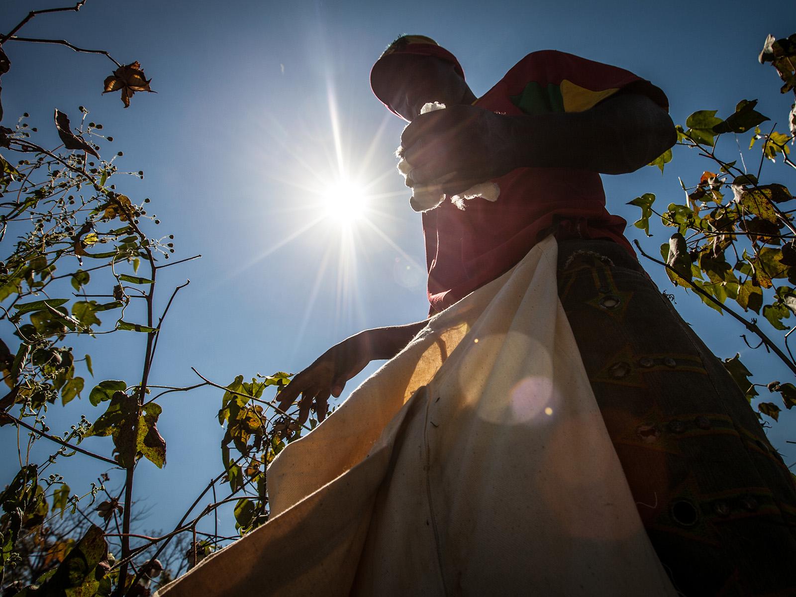 Kasvaakseen puuvilla vaatii runsaasti auringonvaloa, joten viljelijät joutuvat työskentelemään auringon paahteessa.