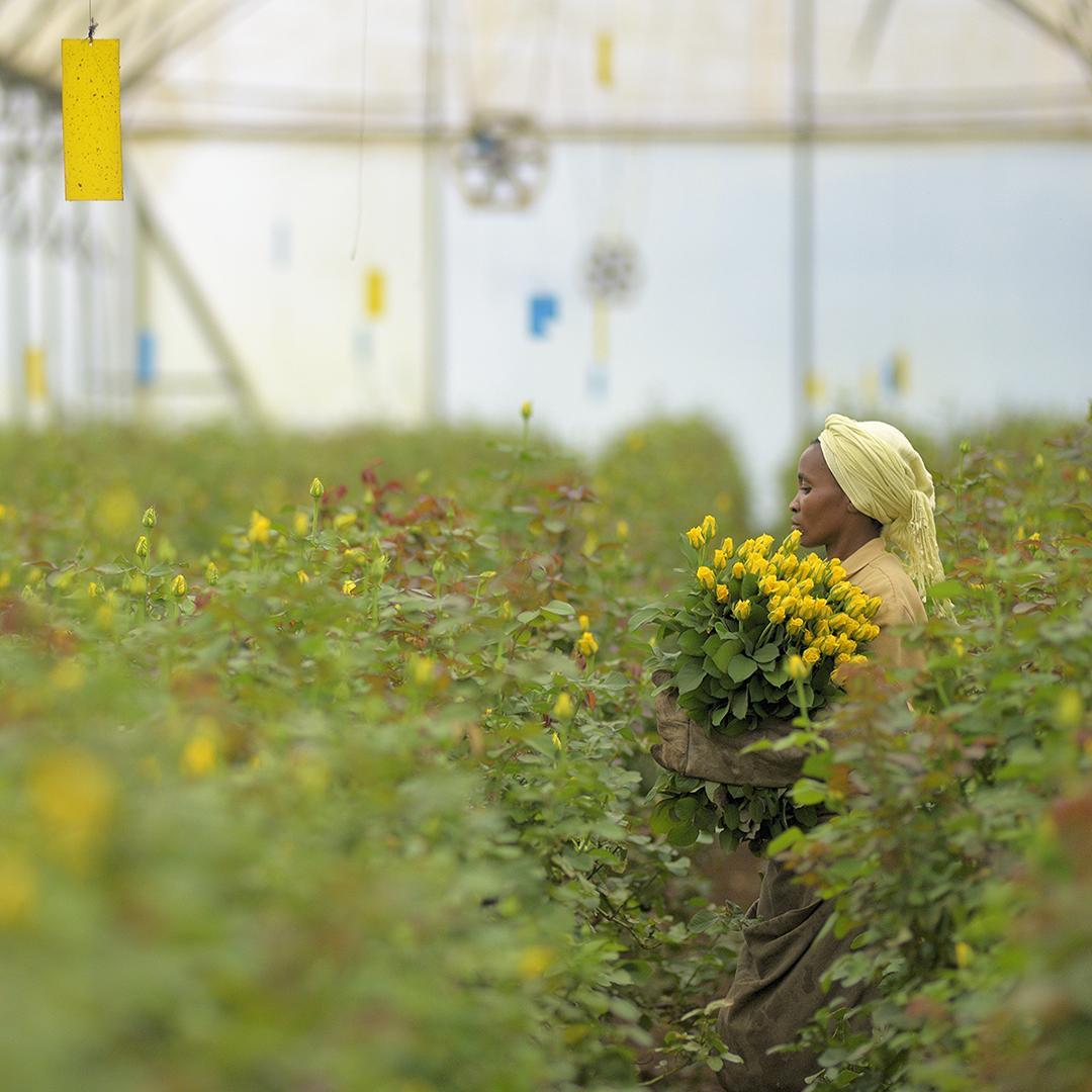 Keski-Euroopan kukkakauppojen sulkeminen on viemässä Afrikan kukkatilat konkurssin partaalle, ja merkittävä osa Reilun kaupan kukkatilojen työntekijöistä on lomautettu. Kuva: Didier Gentilhomme