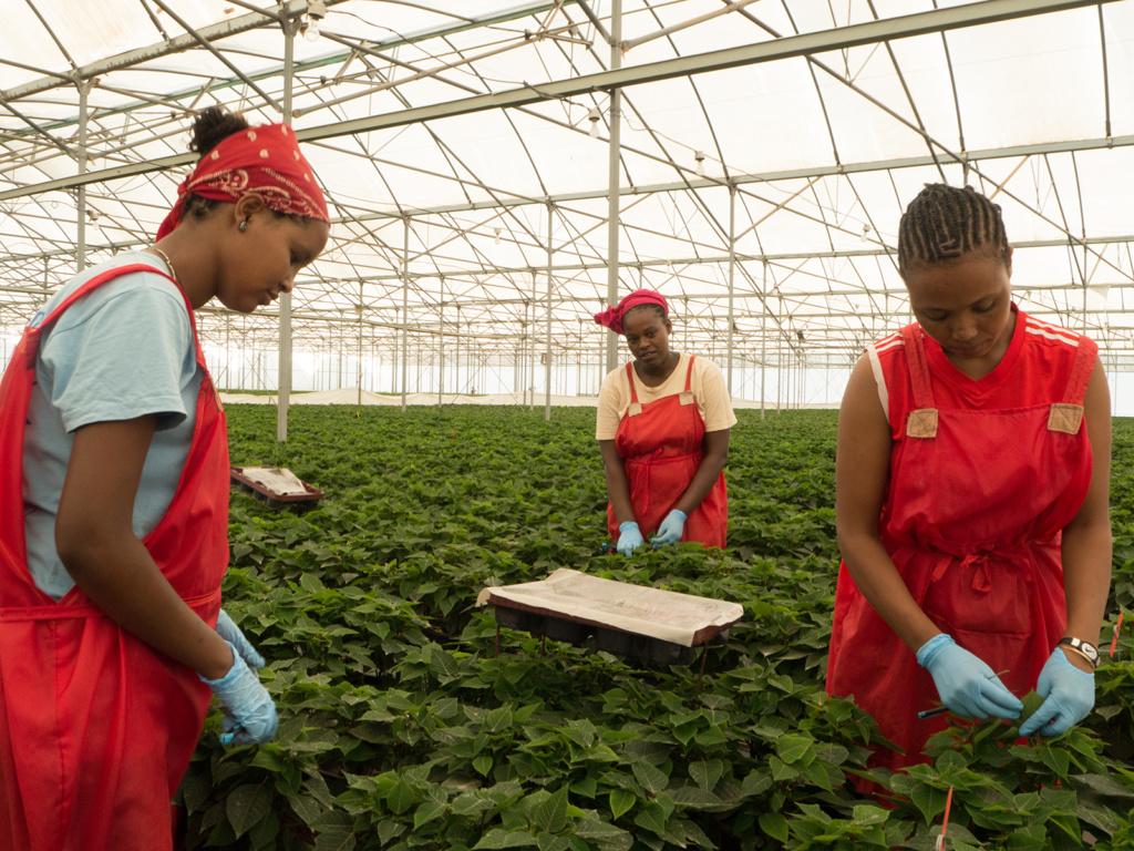 Etiopiassa leikkokukkien tuotannossa – kuten muussakin maataloustyössä – valtaosa työntekijöistä on naisia. Kuva: Harald Mohr