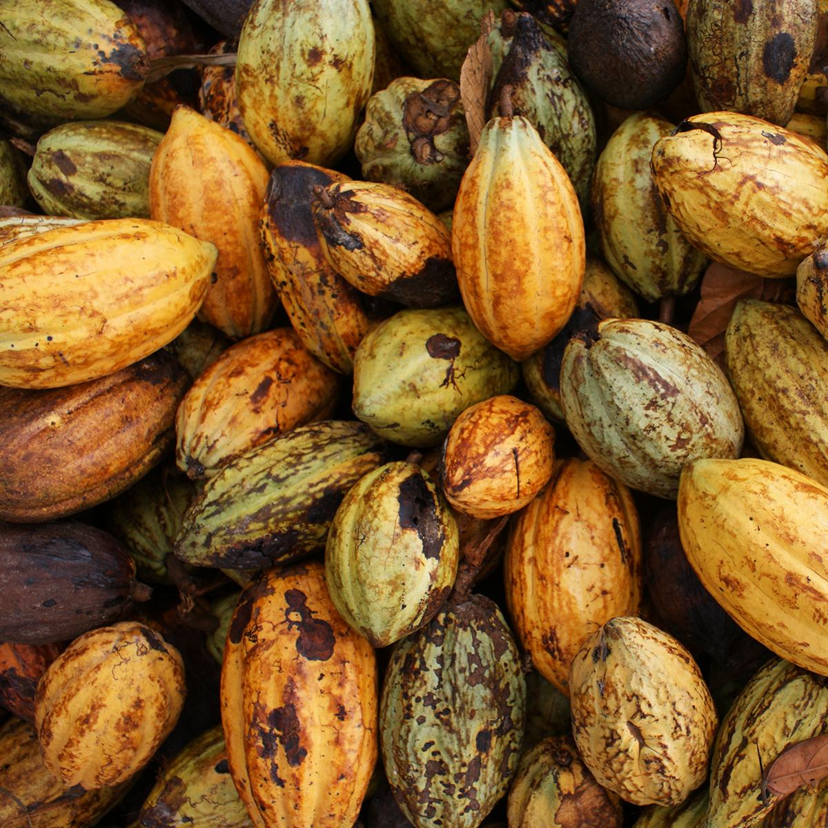 Nestlén päätös tulee kaakaonviljelijöiden kannalta hankalaan aikaan, sillä kaakaon myynti- ja logistiikkaketjut ovat kärsineet koronapandemian seurauksena. Lisäksi ala on viime vuosina kohdannut tuotannollisia haasteita ilmastonmuutoksen takia. Kuva: Fairtrade Max Havelaar Belgium