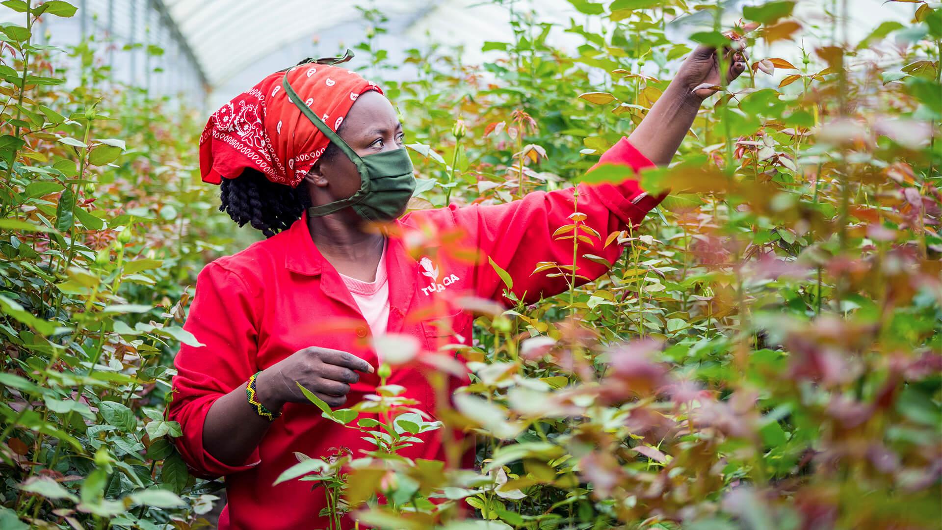 Tulgada Flowers -kukkatilan työntekijä Keniassa punaisissa vaatteissa koskettaa kukkia paljain käsin.