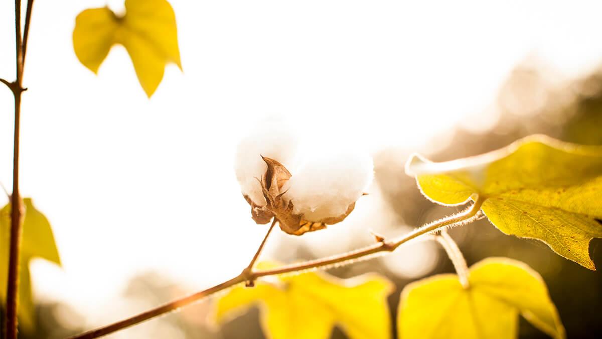 Puuvillan kukka auringonpaisteessa