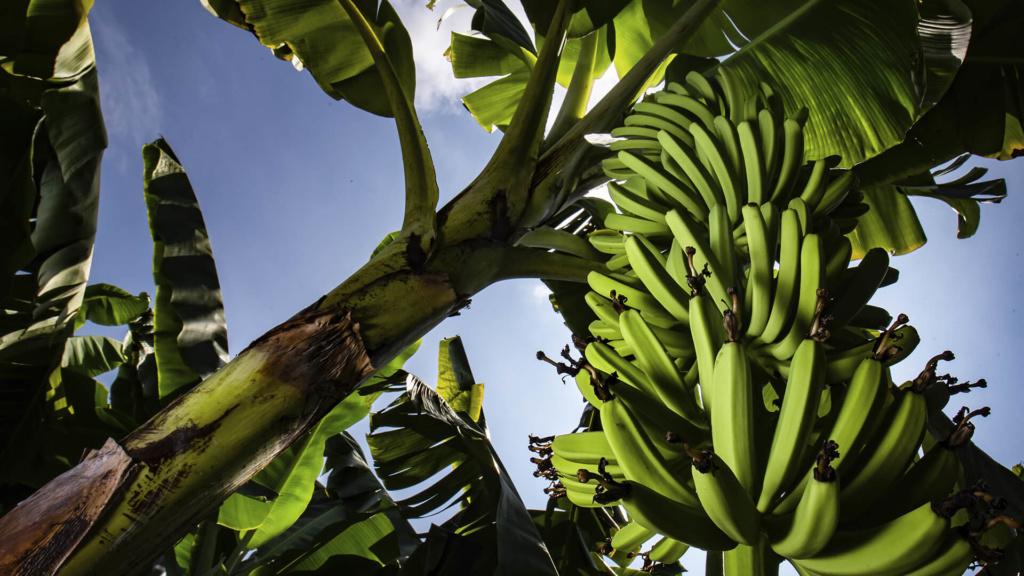 Reilun kaupan banaanin viljely tapahtuu kehittyvissä tuottajamaissa.
