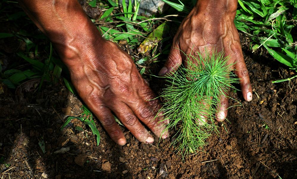 Kädet istuttavat uutta taimea.
