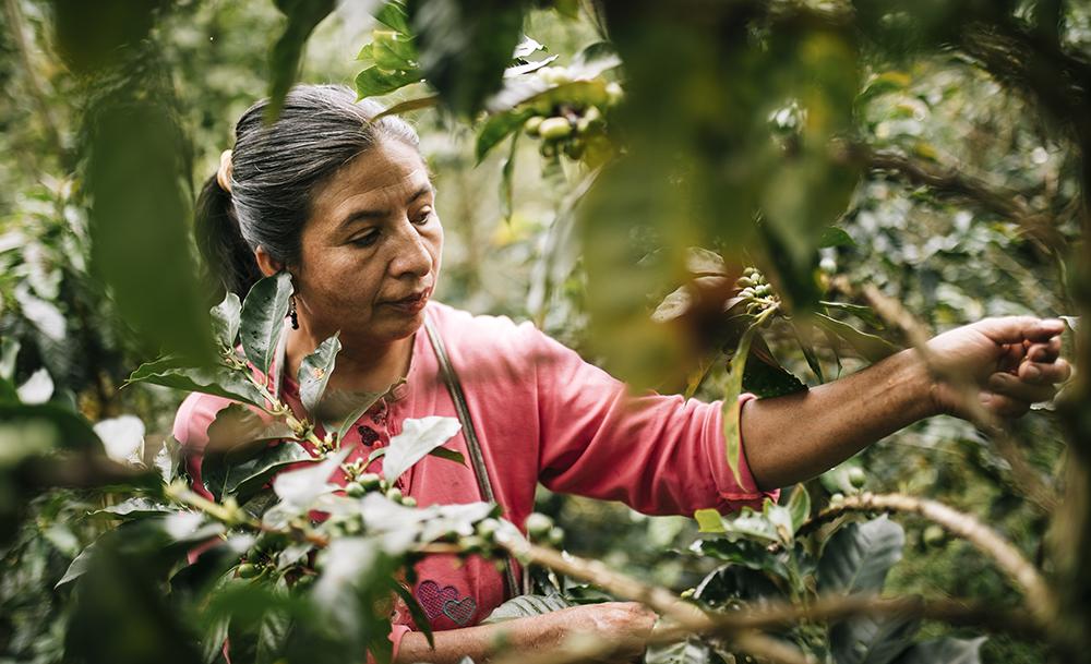 Perulainen kahvinviljelijä korjaa satoa.