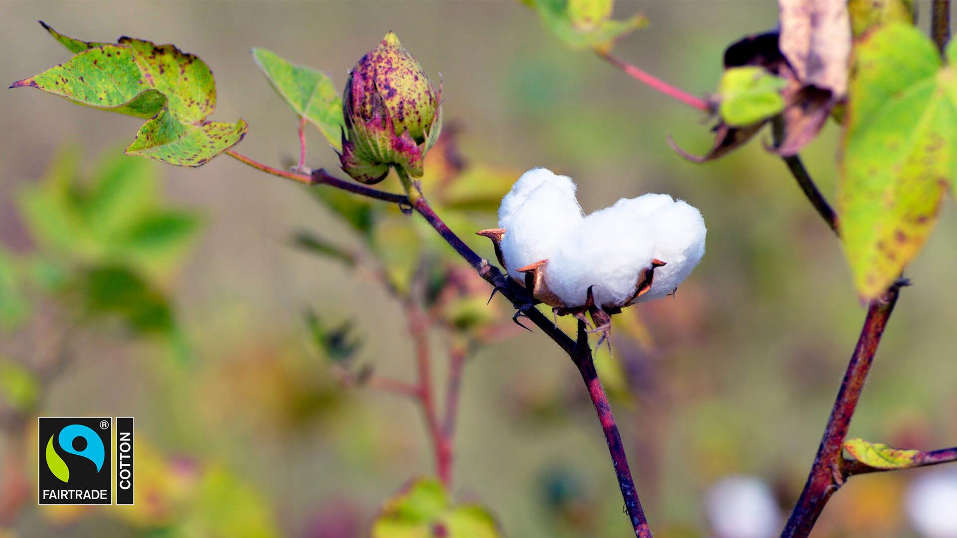 Puuvillan viljelyssä on parannettavaa ihmisoikeuksiin ja ympäristönsuojeluun liittyen. Luomu puuvilla ja Reilun kaupan merkki viestivät vastuullisemmasta puuvillan tuotannosta.